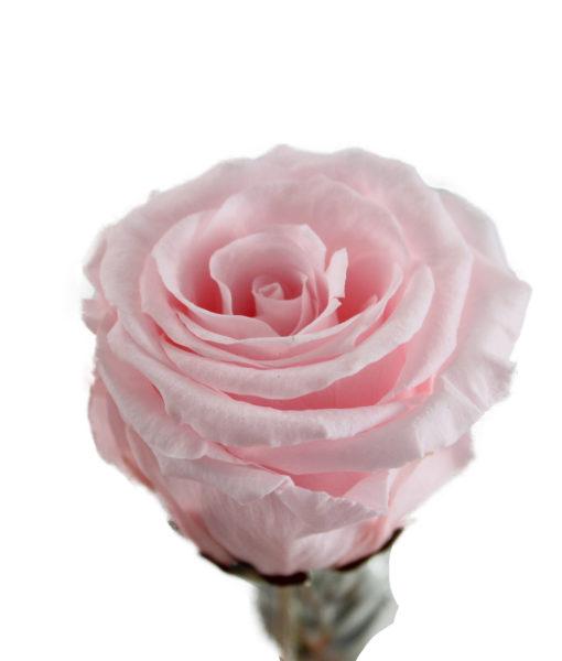 Rosa Stabilizzata Rosa - NonSoloCerimonie.it